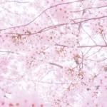 一眼レフカメラでの桜の撮り方は?記憶に残る一枚を!