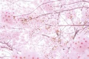 日立の桜_1