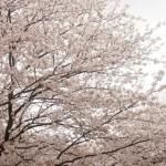 大阪城の桜のライトアップ!2015年度はコレ!