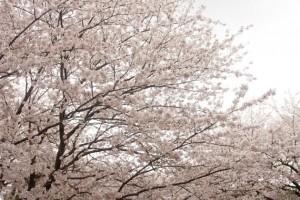 一眼レフで桜を撮るコツ_1