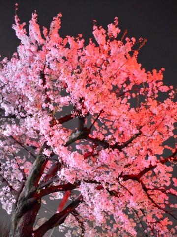 北海道の桜_5