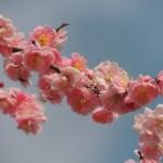 青森の桜!弘前城のおすすめコースはコレ!