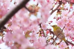 仙台の桜_2