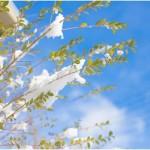 2015 彦根城の桜の見ごろはいつ?ライトアップ時間はコレ!