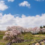 2017の三春滝桜の開花予想はいつ頃?ライトアップはいつから?