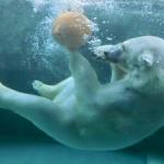 旭山動物園の「雪あかりの動物園2017」の開催予定と見どころは?