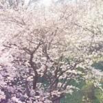 さが桜マラソン2017の開催日程は?走るコースはどこ?