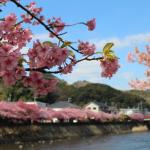 2017年の河津桜まつりの見ごろはいつ?主なアクセス方法は?