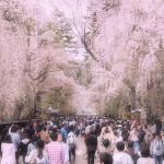 2017年の角館の桜の開花予想は?桜まつりはいつ頃?